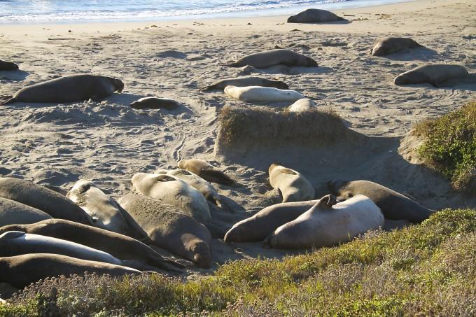 elephant seal san simeon california