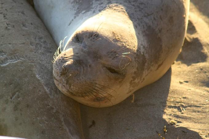 elephant seals california