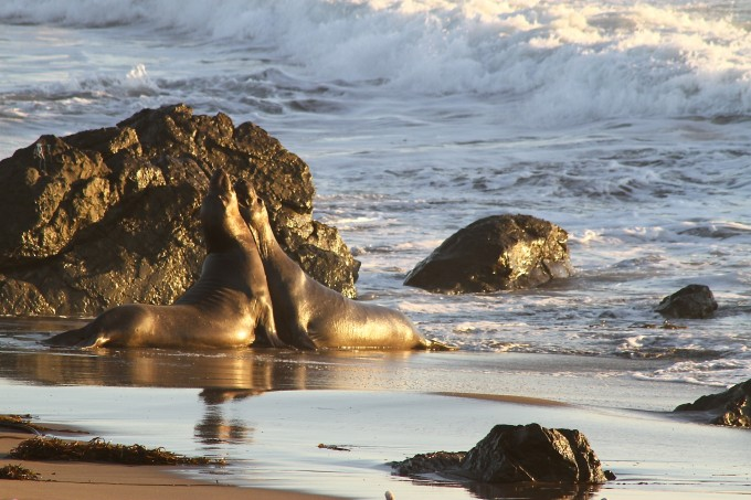 elephant seals san simeon california